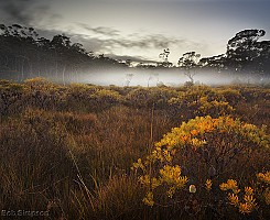 Banksias and Mist