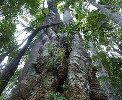 Rainforest Fig 2