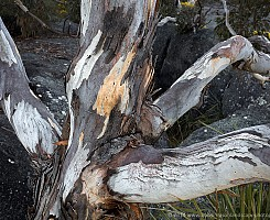 Gum Tree and Rocks